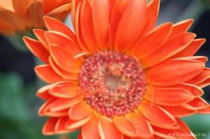 Gerbera-daisy-tangerine1